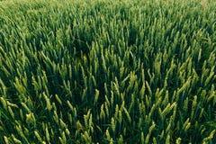 Campo verde del trigo joven Imagenes de archivo