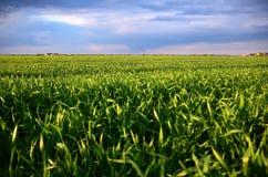 Campo verde dell'avena Fotografie Stock