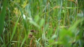 Campo verde dell'avena Libellula che si siede su un ramo Giorno di estate caldo video d archivio