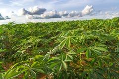 Campo verde dell'azienda agricola della manioca immagine stock