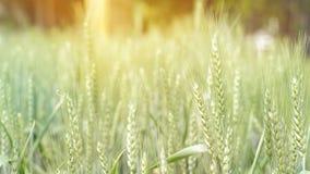 Campo verde dell'orzo, azienda agricola sana di agricoltura dell'alimento del grano Fotografia Stock