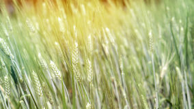 Campo verde dell'orzo, azienda agricola sana di agricoltura dell'alimento del grano Fotografia Stock Libera da Diritti