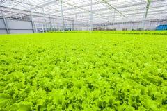 Campo verde della lattuga - alimento biologico Fotografia Stock Libera da Diritti
