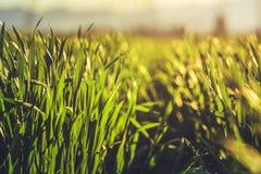 Campo verde della segale Fotografia Stock