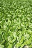 Campo verde delle verdure del cavolo in il terreno coltivabile di primavera Fotografia Stock Libera da Diritti