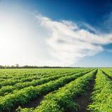 Campo verde di agricoltura con i pomodori ed il cielo blu con le nuvole Immagini Stock Libere da Diritti