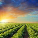 Campo verde di agricoltura con i pomodori ed il tramonto in cielo drammatico Immagine Stock Libera da Diritti