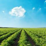 Campo verde di agricoltura con il pomodoro ed il cielo blu con il ove delle nuvole Immagine Stock Libera da Diritti