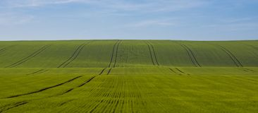 Campo verde di giovane grano con le tracce di trattore in Moravian fotografia stock
