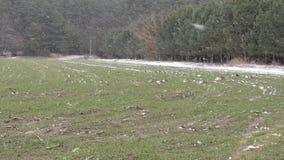 Campo verde di inverno innevato la terra video d archivio