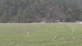 Campo verde di inverno innevato la terra archivi video
