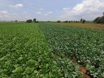 Campo verde di lattuga un giorno soleggiato con le nuvole Immagini Stock