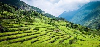 Campo verde di riso nel Nepal Fotografia Stock Libera da Diritti