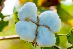 Campo verde do algodão, india fotografia de stock