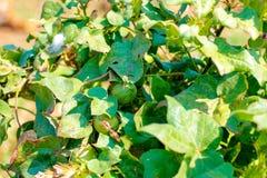 Campo verde do algodão, india fotografia de stock royalty free