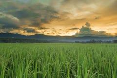 Campo verde do arroz imagens de stock