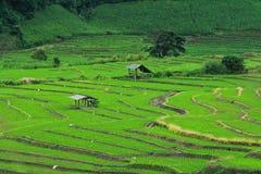 Campo verde do arroz Fotos de Stock Royalty Free