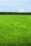 Campo verde do arroz fotos de stock