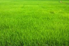 Campo verde do arroz imagens de stock royalty free