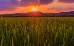 Campo verde do arroz Foto de Stock Royalty Free