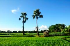 Campo verde do arroz e céu azul, em Ásia Imagens de Stock