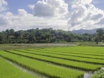 Campo verde do arroz e muitas nuvens no céu azul Fotos de Stock