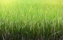 Campo verde do arroz em Tailândia foto de stock