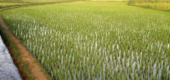 Campo verde do arroz na ?ndia foto de stock royalty free