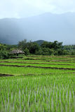Campo verde do arroz no campo, Chiang Mai, Tailândia Fotos de Stock