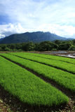 Campo verde do arroz no campo, Chiang Mai, Tailândia Foto de Stock