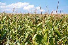 Campo verde do milho que cresce acima Fotos de Stock