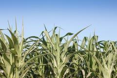 Campo verde do milho que cresce acima Imagens de Stock