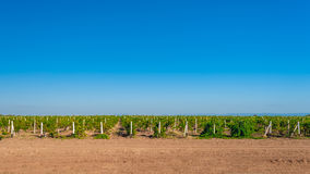 Campo verde do vinhedo imagem de stock