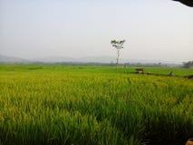 Campo verde e giallo Immagini Stock Libere da Diritti