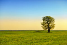 Campo verde ed albero solo Fotografia Stock