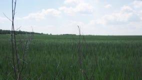Campo verde en el fondo del cielo azul metrajes