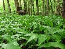 Campo verde en el ursinum del allium de la planta medicinal de la primavera del bosque también conocido como el ajo salvaje, el p imagen de archivo