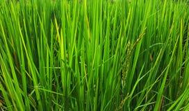 Campo verde fresco del arroz con arroz en las hojas en el verano imagen de archivo