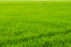 Campo verde fresco do arroz em Tailândia quando tempo do nascer do sol Imagem de Stock