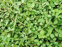 Campo verde fresco do trevo Fotos de Stock Royalty Free