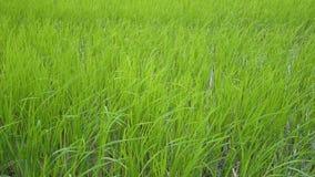 Campo verde hermoso del arroz almacen de metraje de vídeo