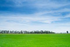 Campo verde luxúria bonito do arroz e céu azul Imagem de Stock