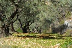 Campo verde oliva Immagine Stock Libera da Diritti