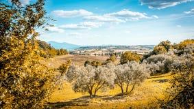 Campo verde oliva de Toscana Imagen de archivo