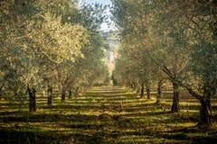 Campo verde oliva en la puesta del sol Imágenes de archivo libres de regalías