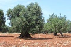Campo verde oliva Mediterraneo con vecchi di olivo contro il cielo blu Fotografia Stock