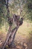 Campo verde oliva mediterraneo con vecchio di olivo pronto per la raccolta Fotografie Stock Libere da Diritti
