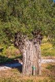 Campo verde oliva mediterraneo con vecchio di olivo pronto per la raccolta Fotografia Stock