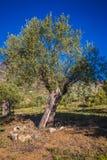 Campo verde oliva mediterraneo con vecchio di olivo pronto per la raccolta Immagini Stock Libere da Diritti
