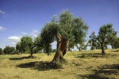 Campo verde oliva, Umbria, Italia Immagine Stock Libera da Diritti